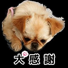 毎日きなこ②♪ペキニーズ&チワワMIX(チワペキ)のLINEスタンプ