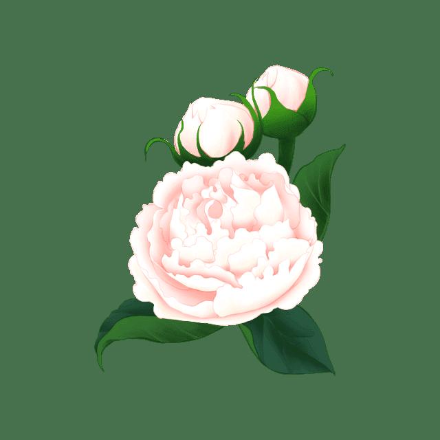 ピオニー(芍薬)